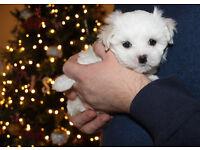 White Maltese Puppy Pup - 1 Girl & 1 Boy