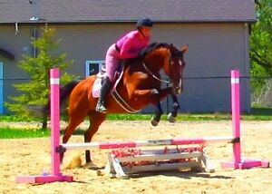 16.2hh Bay Thoroughbred Hunter/Jumper or Dressage