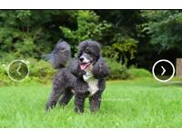 Stunning miniature/toy poodle puppies
