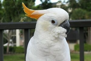 Citron Cockatoo
