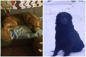 2 farm dogs missing from Ridgetown Area