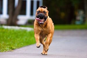 Wanted- To adopt Bull Mastiff dog - will pay top $$