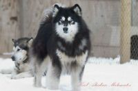 Wanted large male husky malute for pulling