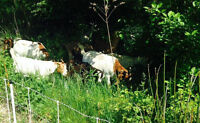 Rent-A-Goat from Ontario Goat Grazers!