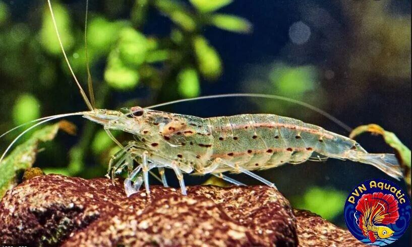 10 1 Amano Shrimps , Algae Eating Shrimp - Live Aquarium Shrimp By PVNAquatic - $35.10