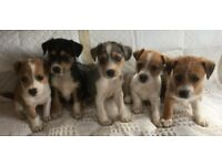 Jack Russle cross Parson Russell Terrier puppies, used for sale  Cambridge, Cambridgeshire