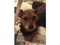 2year old yorkie x jack Russel