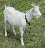 TAME VERY FRIENDLY 5 MONTH OLD SAANEN GOATS /TRADES WELCOME