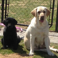 CKC REGISTERED LABRADOR PUPPIES