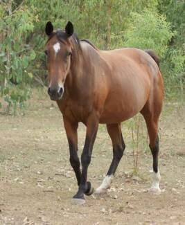 REGISTERED ANGLO MARE RIDING/BREEDING