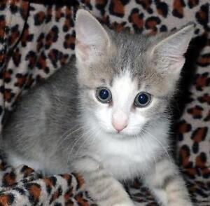 Baby Male  - Domestic Short Hair - gray and white-Tabby