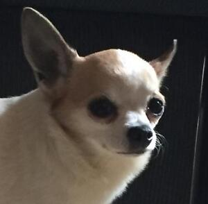 "Adult Male Dog - Chihuahua: ""Benji"""