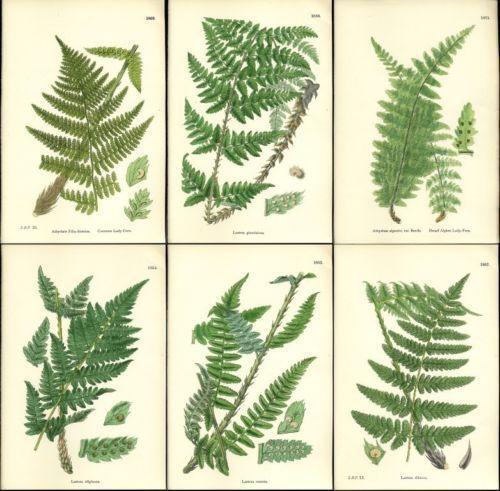 Fern Botanical Prints Ebay