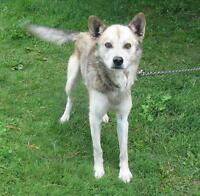 "Adult Male Dog - Husky-Shepherd: ""Rudy"""