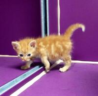 "Baby Male Cat - Domestic Short Hair - orange and white: ""Pepper"""
