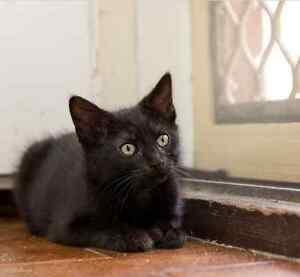 Ishbel RESCUE kittens available for ADOPTION vet work INC Craigie Joondalup Area Preview