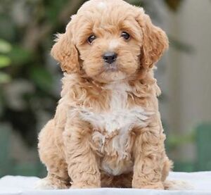 Toy cavoodle puppy Beverly Hills Hurstville Area Preview