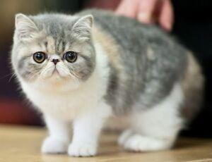 *** ISO exotic short hair kitten ***