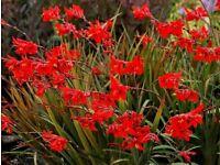 Crocosmia Montbretia garden hardy plant Red flowers