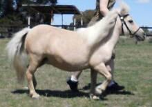 Beautiul Quiet Pali Miniature Horse Mare - email/call for price Benalla Benalla Area Preview