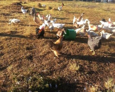 Wanted free chickens n roosters n ducks.  Eagleby Logan Area Preview