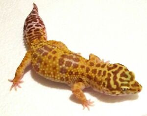 Top Quality Geckos are ready for new homes