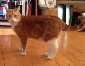 LOST ORANGE AND WHITE TABBY CAT
