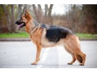 German Shepherd 10 months old