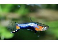 Mix of Blue Star and Blue Snakeskin Endler Guppy 6 for £5