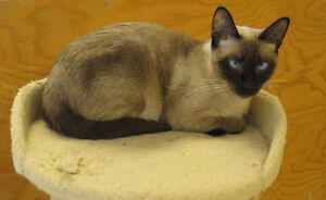 Beautiful Seal Point Female Siamese