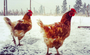 Bovans brown chickens 5$ each.