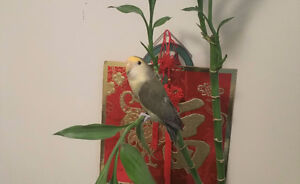 For Sale - Two 1 year old lovebirds with cage
