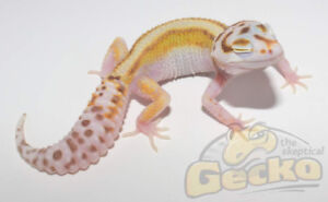 Leopard Geckos Available from @TheSkepticalGecko