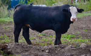 Purebred Black Simmental yearling bull
