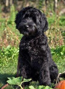 Labradoodle puppy for Xmas 2018