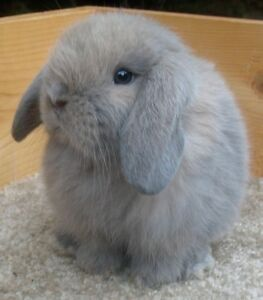 Sweetest Holland Lop bunnies! Beautiful colors!