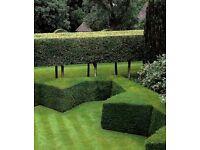 Hedge Cutting/ Topiary