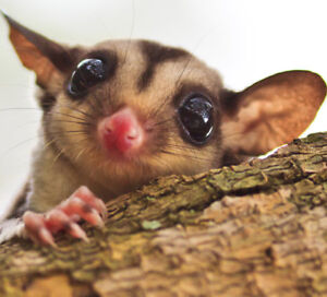 ADORABLE SUGAR GLIDERS AVAILABLE AT EXOTIC PETS