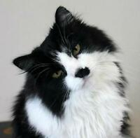 "Senior Male Cat - Domestic Medium Hair: ""Abernethy"""