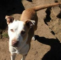 "Adult Female Dog - Pit Bull Terrier-Border Collie: ""Willow"""