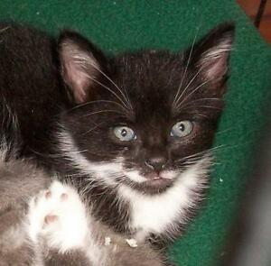 "Young Male Cat - Domestic Short Hair-Tuxedo: ""Lucien"""