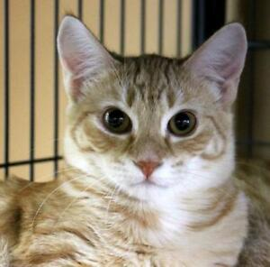 "Young Female Cat - Domestic Short Hair-Tabby: ""Lima Bean"""