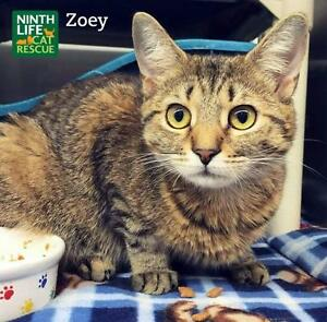 "Young Female Cat - Domestic Short Hair: ""Zoey"""