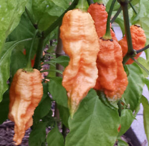 PEACH Bhut Jolokia Chilli: 10 Rare Seeds - One of the Hottest in the World
