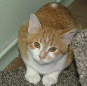 "Young Male Cat - Tabby - Orange: ""Yober"""
