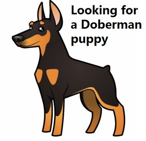 Looking for a Doberman puppy