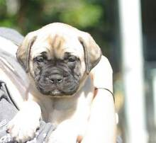 stunning purebred bullmastiff puppies Gympie Gympie Area Preview
