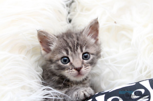 Billie rescue KITTEN to adopt VET WORK INC Clarkson Wanneroo Area Preview