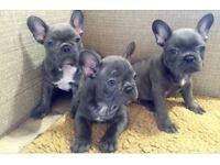 Blue & Tan French Bulldogs