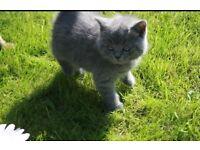 Beautiful British kittens